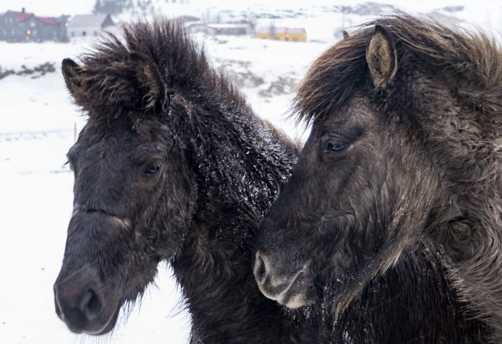 Iceland attractions: horses
