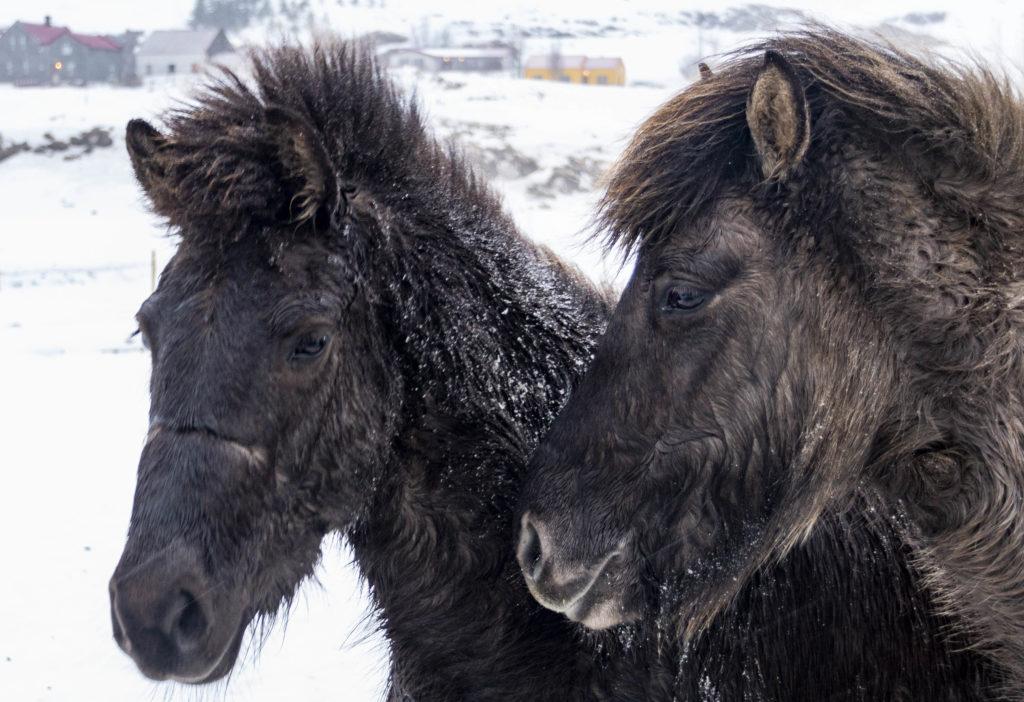 Islandia atrakcje: konie