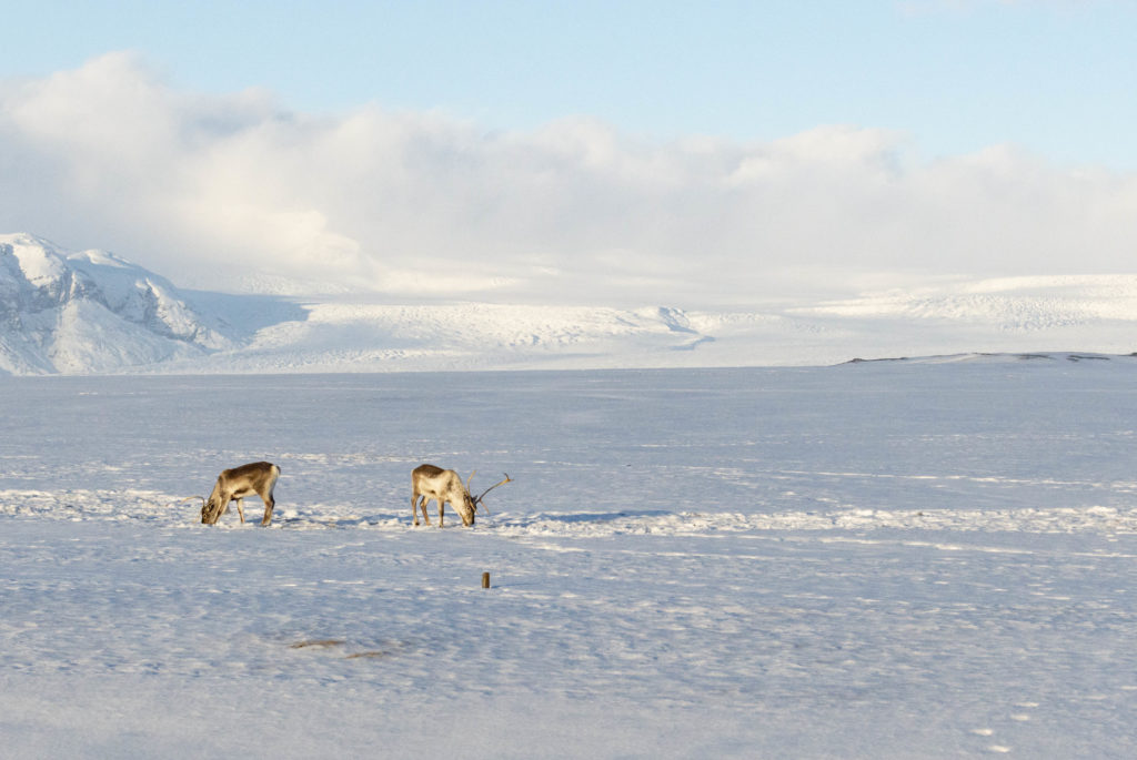 Iceland attractions: Reindeers